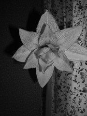 amarylis na czarno-białej fotografii