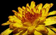 kwiaty chryzantemy