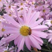 fioletowe chryzantemy